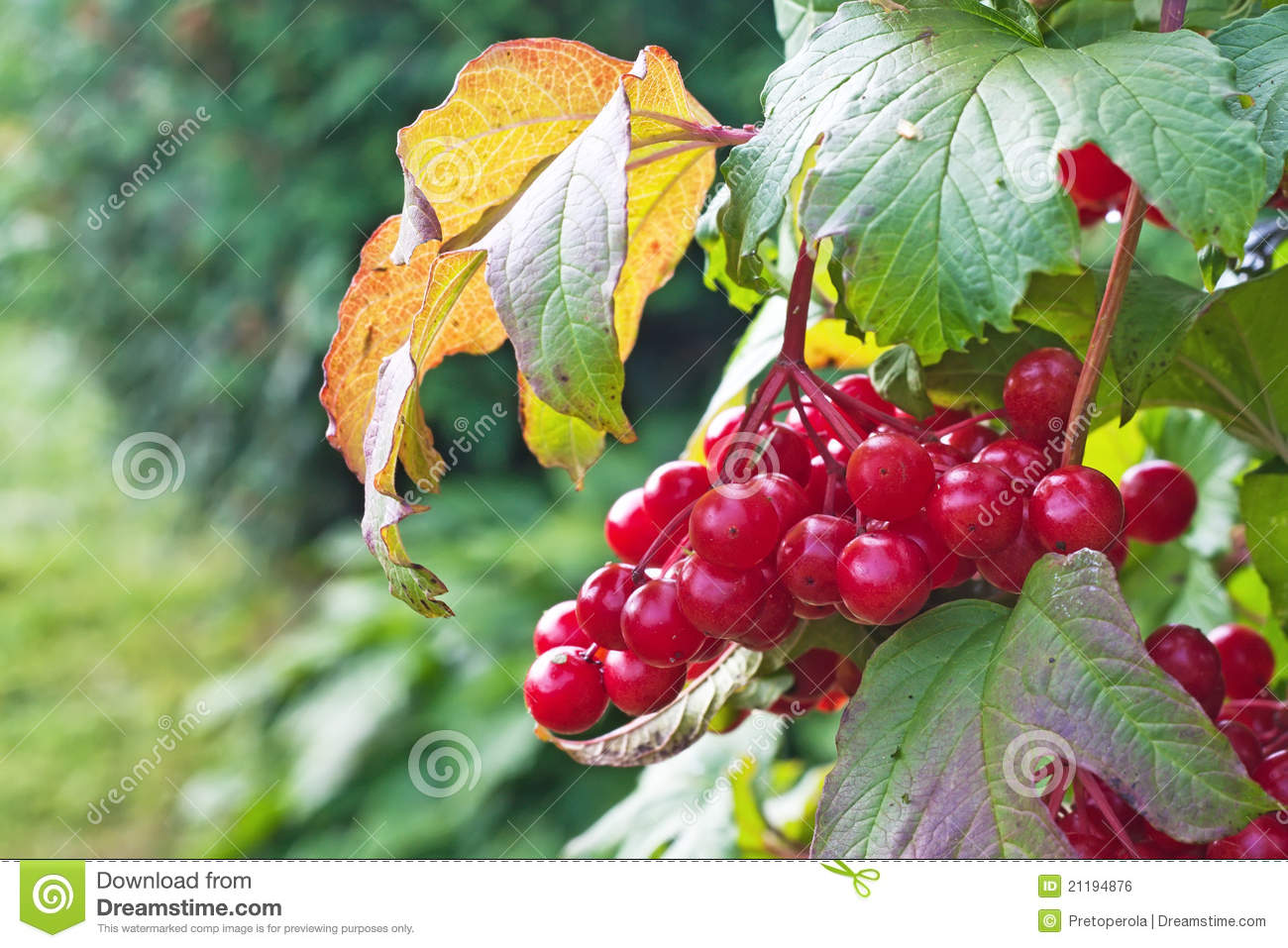 Berries on a bush viburnum