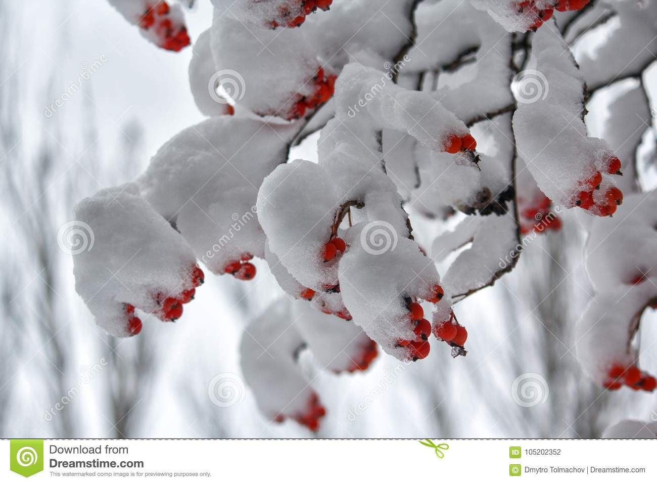 Berries of red mountain ash on branches covered with snow