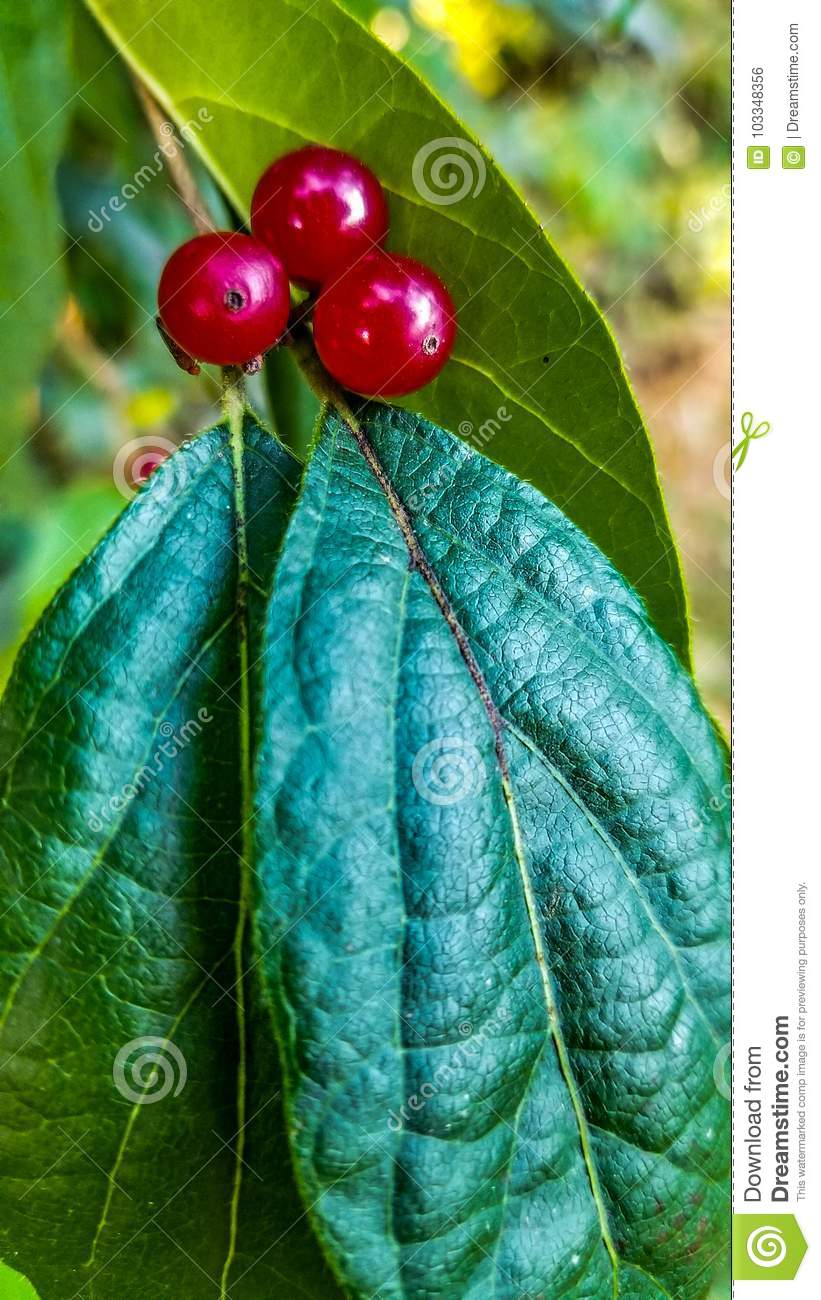 Berries and their leaf