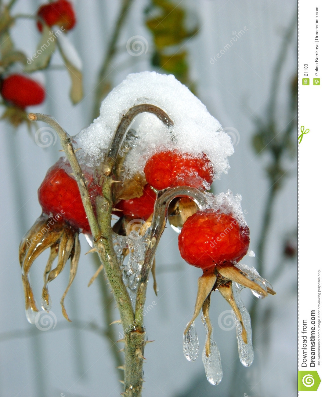 Download Berries under snow stock image. Image of nature, forest - 21183