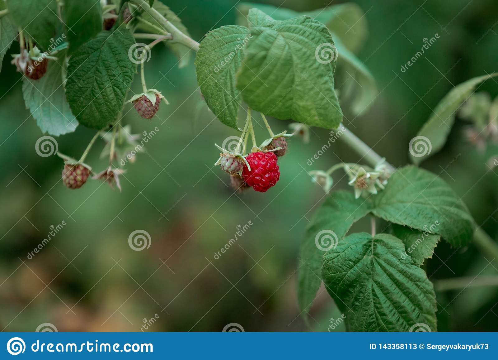 Berry Ribbed Red Raspberries De zomervruchten