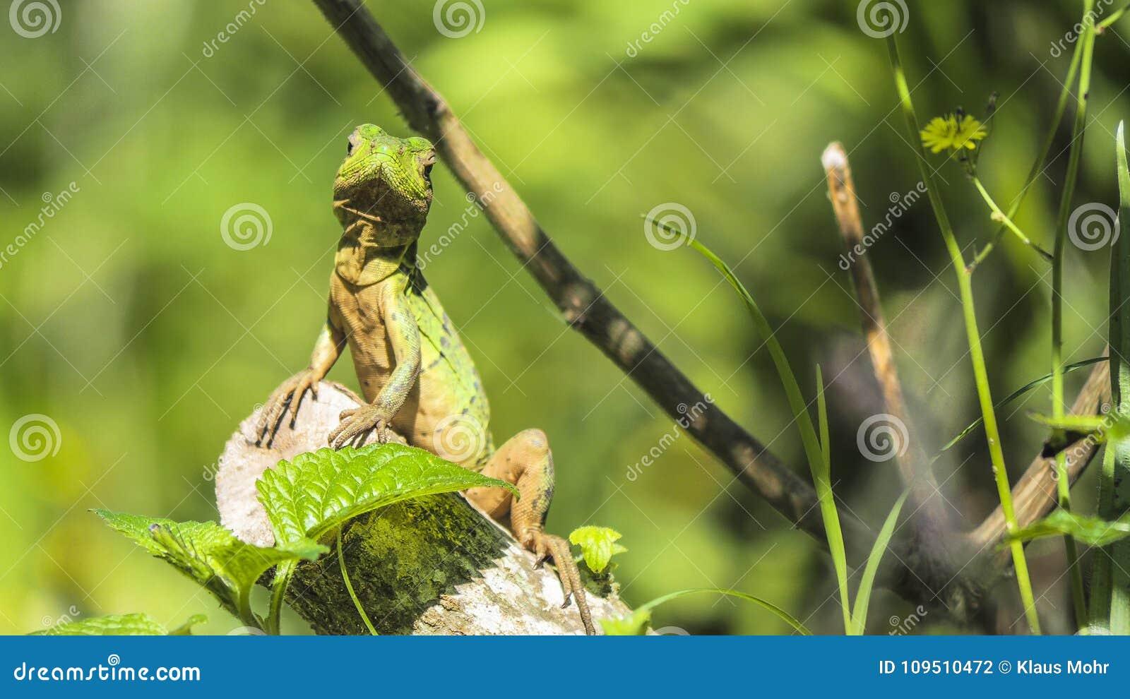 Berthold`s bush anole sitting on a piece of wood