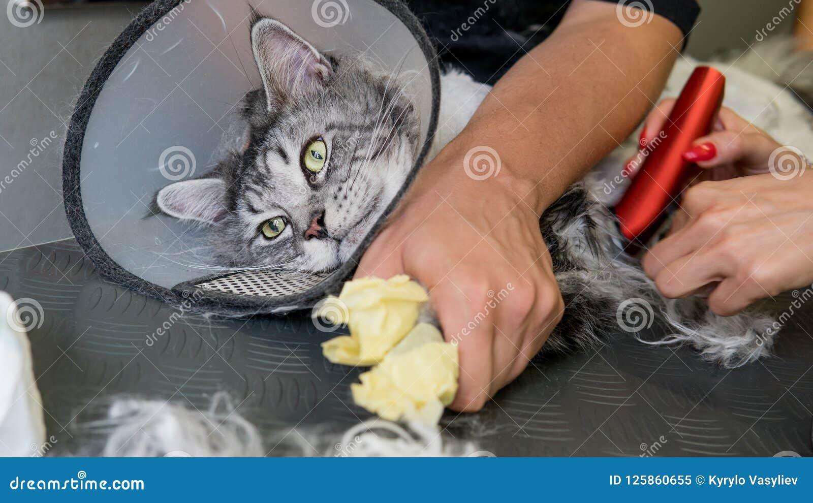 Berufs-Maine Coon Cat Grooming-Nahaufnahme