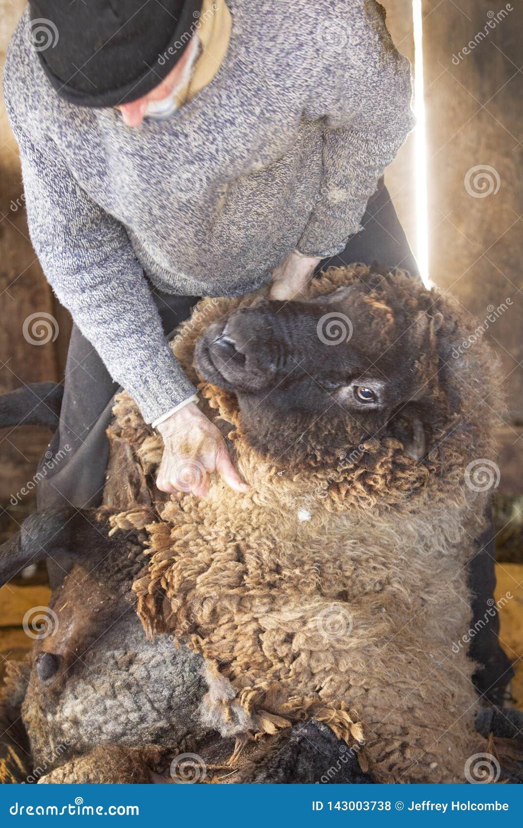 Berufsschafscherer, der mit Schafen in einer Connecticut-Scheune wringt