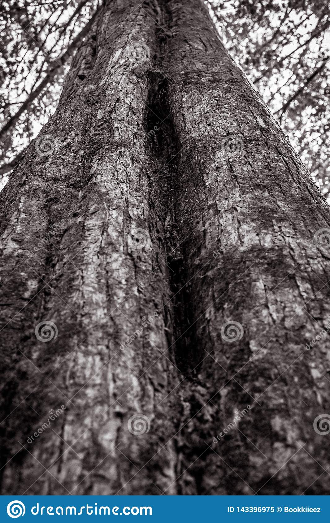 Beschaffenheit des großen Baums im Schwarzweiss-Ton
