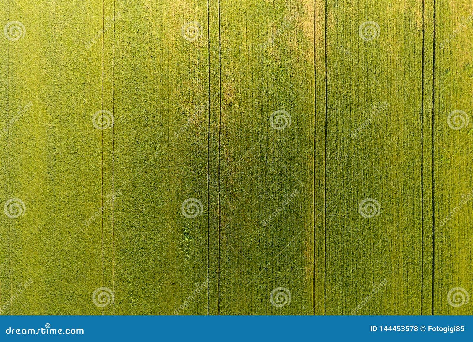 Beschaffenheit des Weizenfeldes Hintergrund des jungen grünen Weizens auf dem f