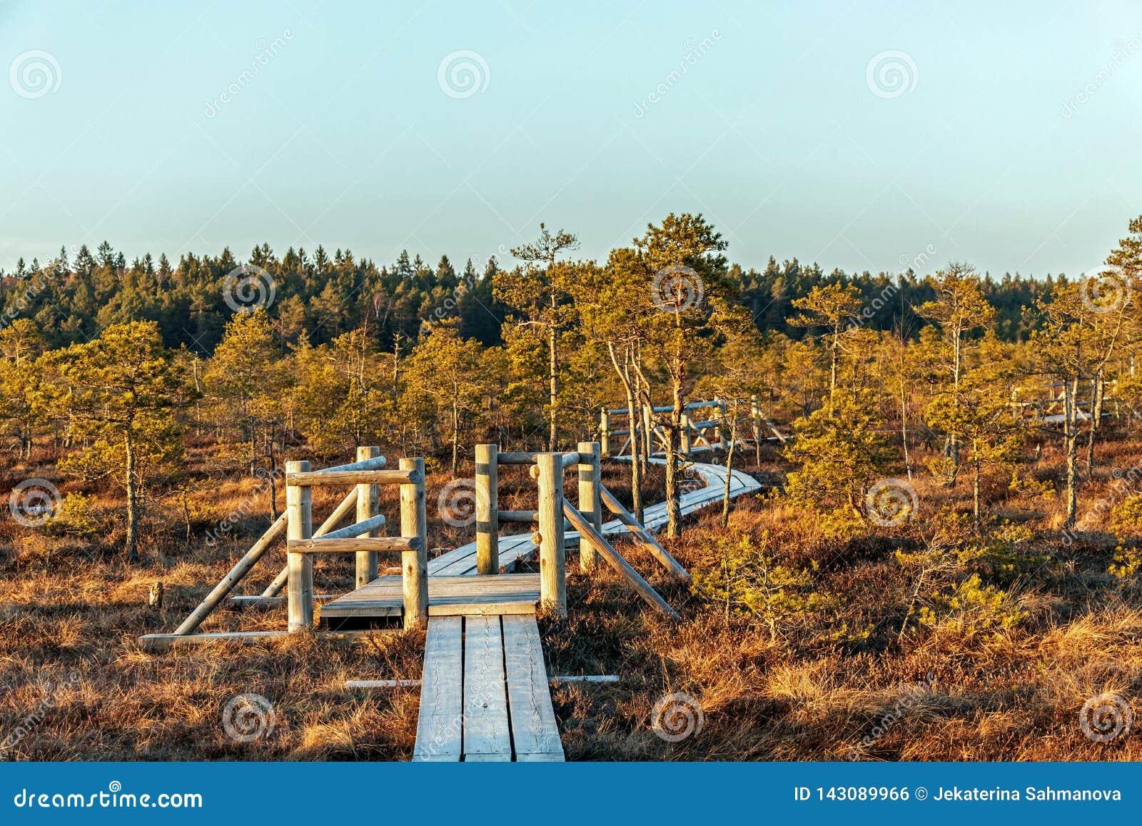Beschaffenheit von Lettland, großer Kemeri-Sumpf: Panoramische Herbstlandschaft mit hölzernem Weg über dem Sumpf mit schönem Glät