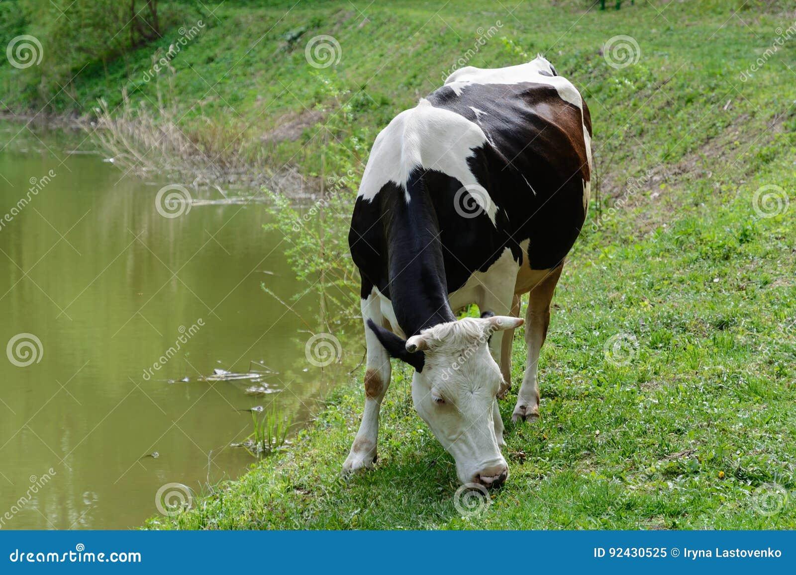 Beschmutzte Kuh lässt auf einer grünen Wiese weiden