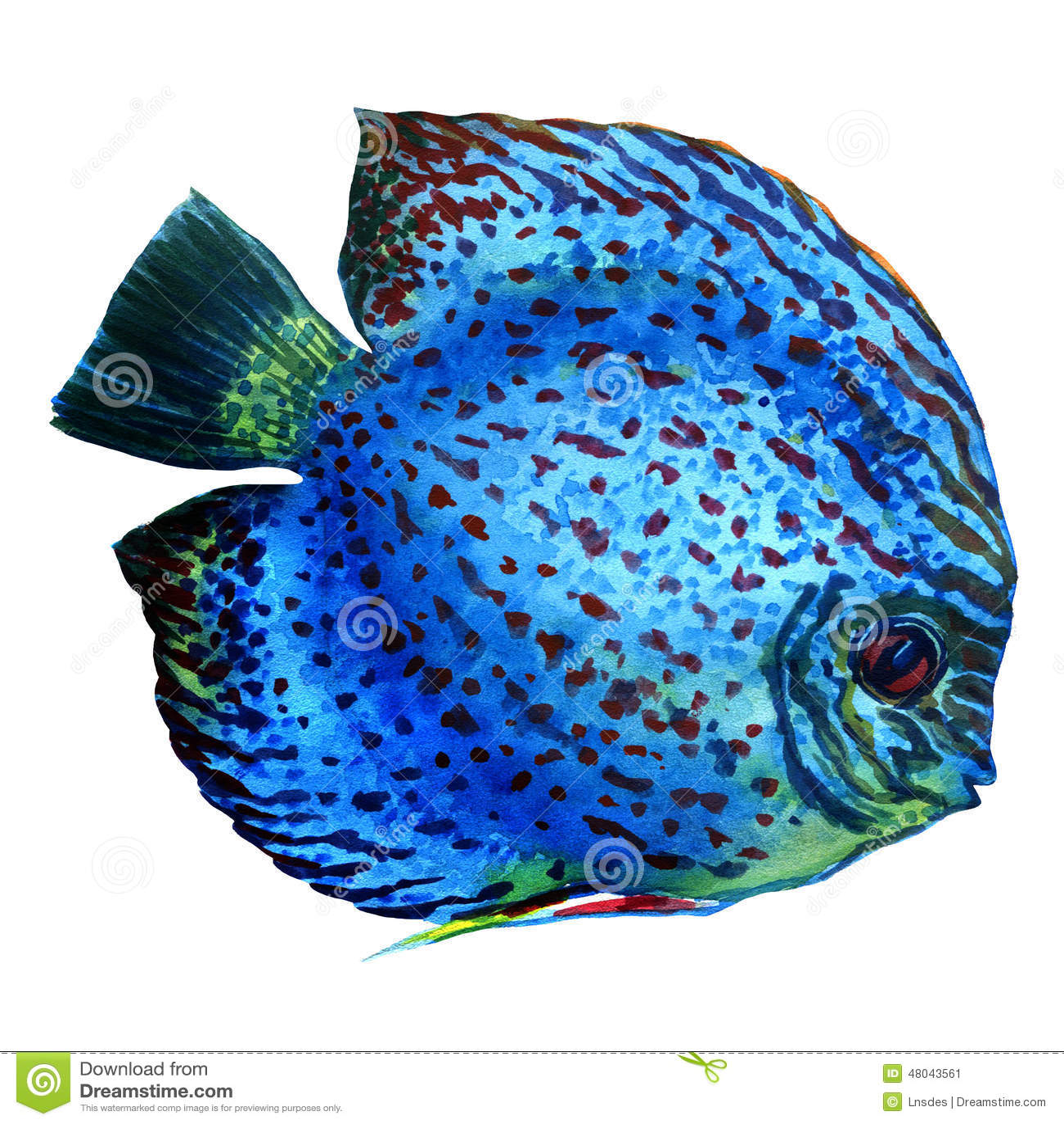 Beschmutzter blauer diskus lokalisiert auf wei stock for Pesce discus