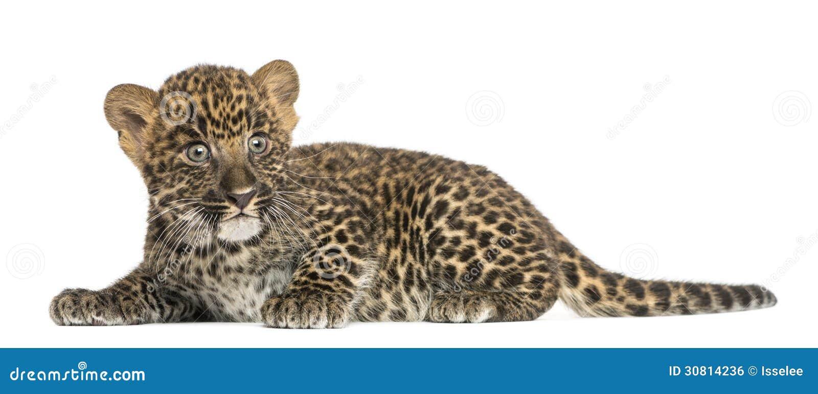 Beschmutztes Leopardjunges, das unten - Panthera pardus, 7 Wochen alt liegt