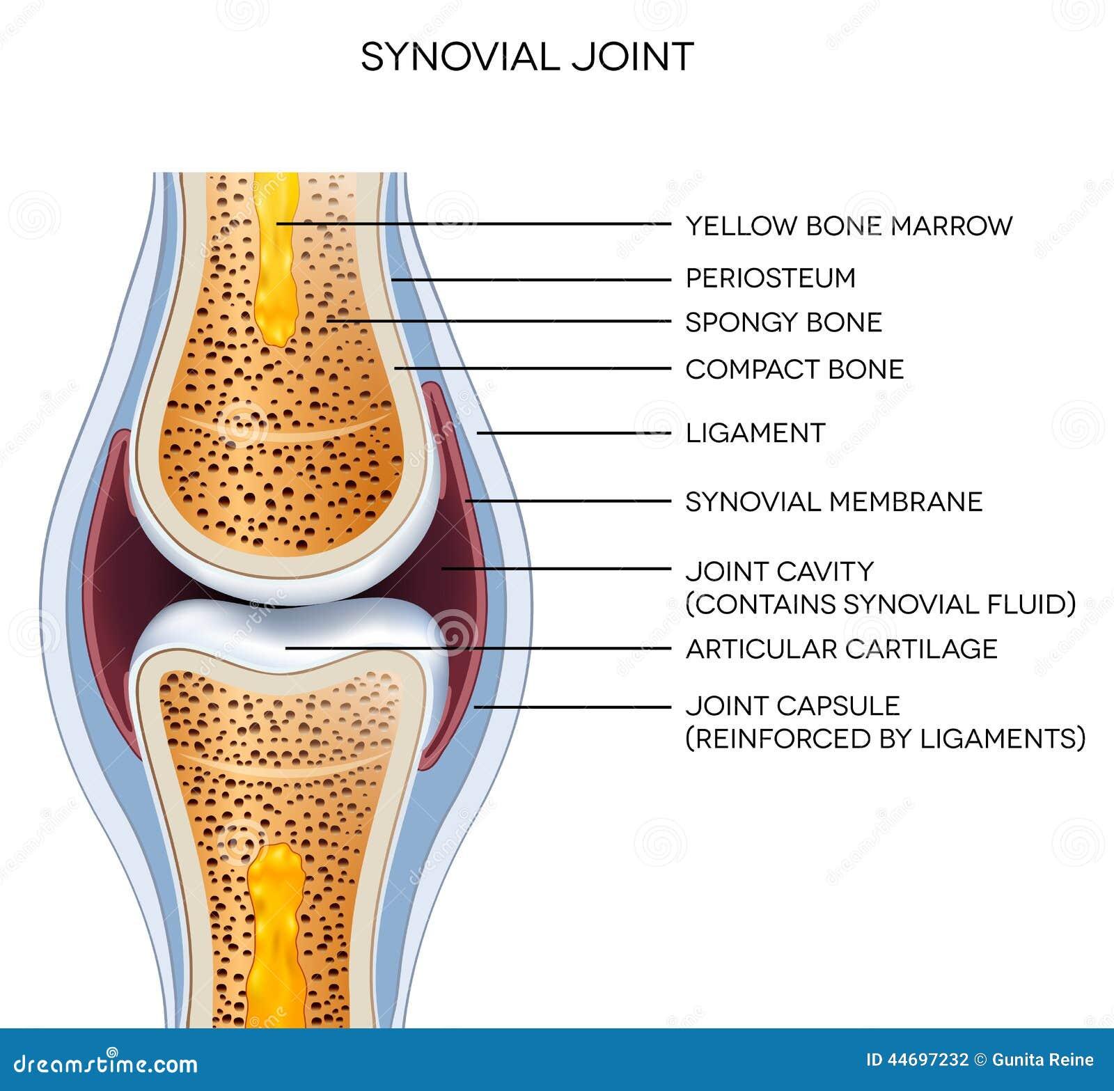 Beschriftete Gemeinsame Anatomie Vektor Abbildung - Illustration von ...