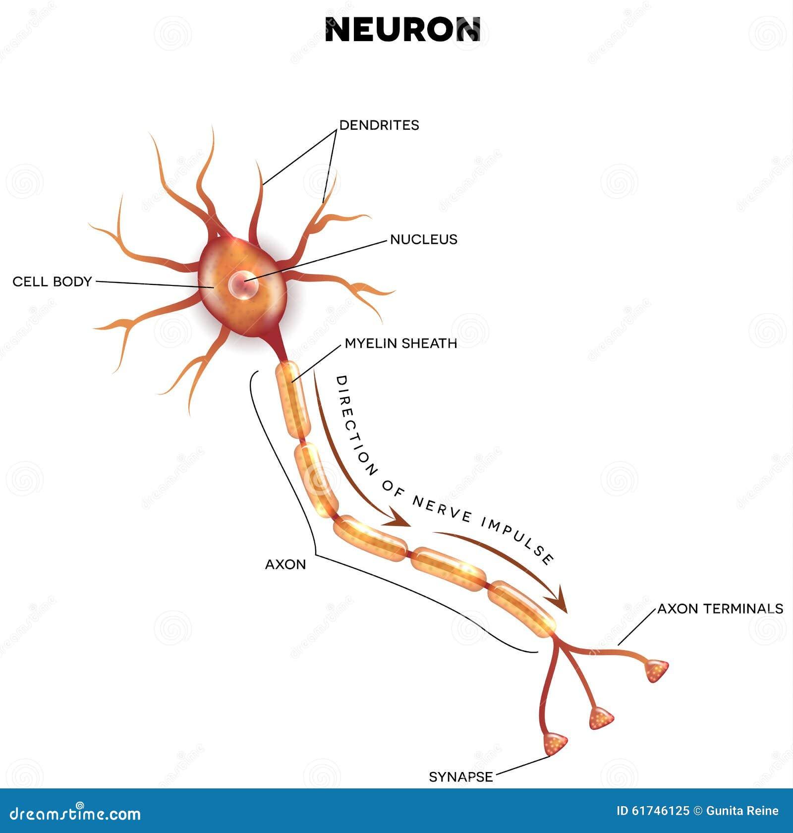 Groß Einfaches Gehirn Diagramm Beschriftete Zeitgenössisch ...
