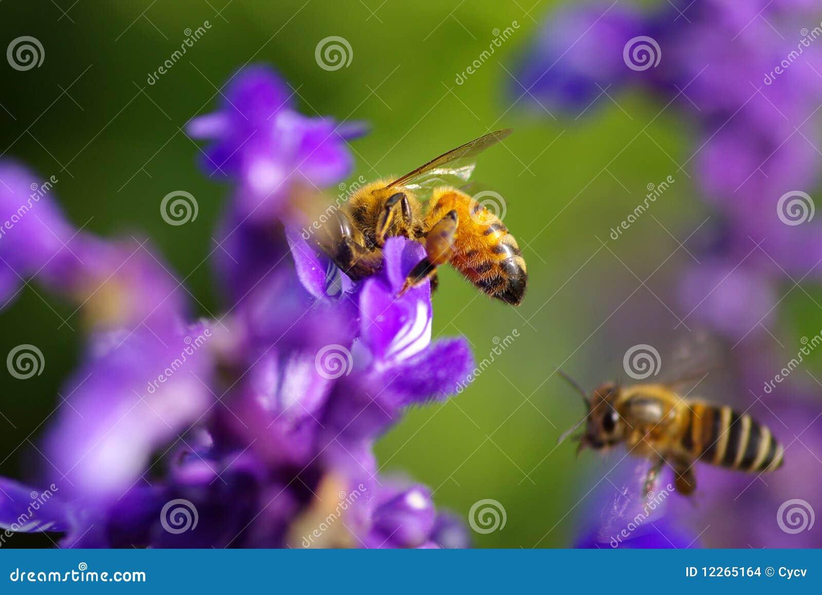 Besetzte Biene