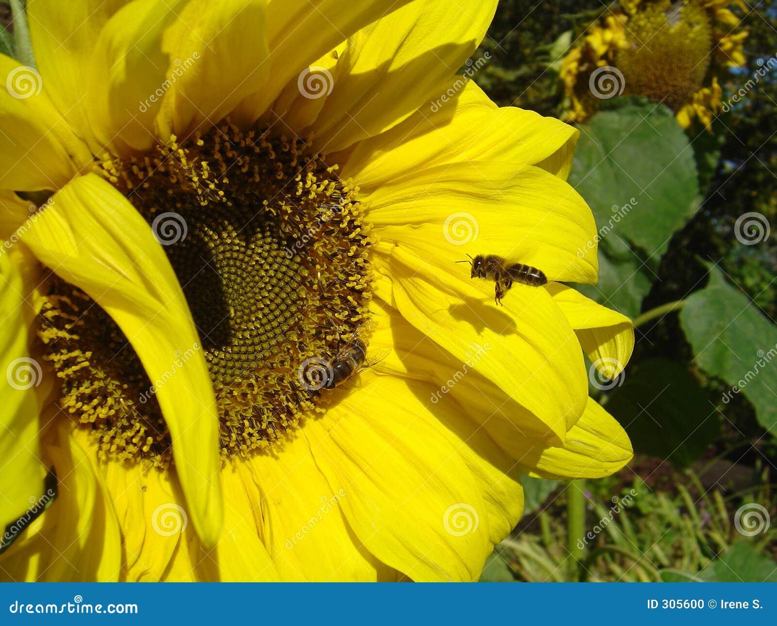 Besetzte Bienen