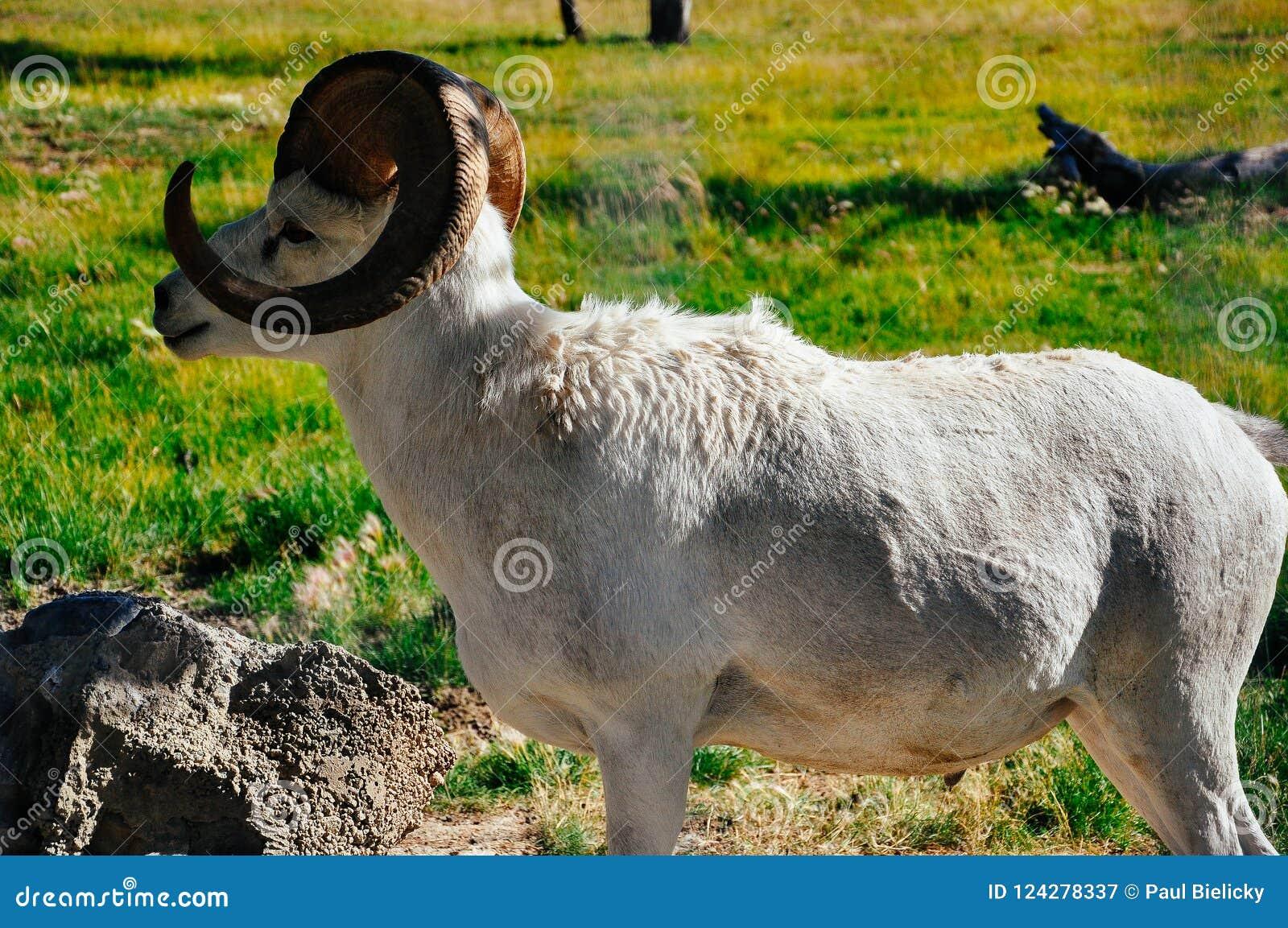 Beskydd Yukon för lösa får i Whitehorse, Yukon