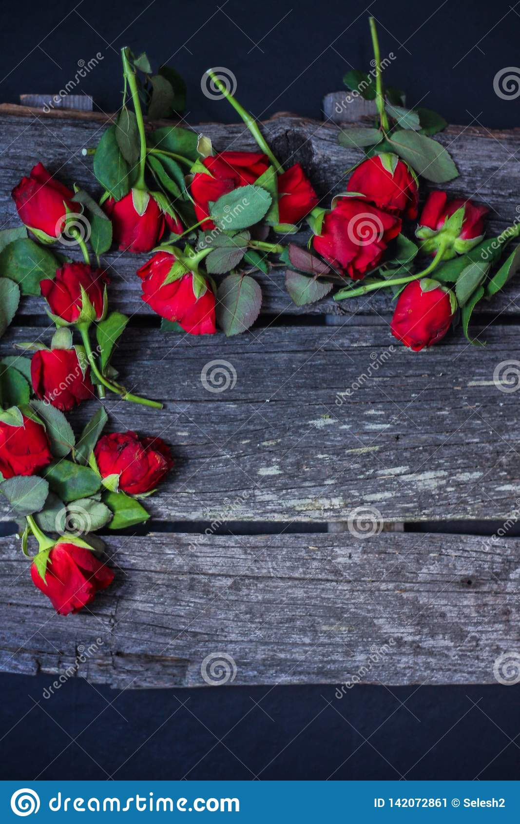 Besnoeiings rode vernietigde rozen Hoogste mening, donkere achtergrond