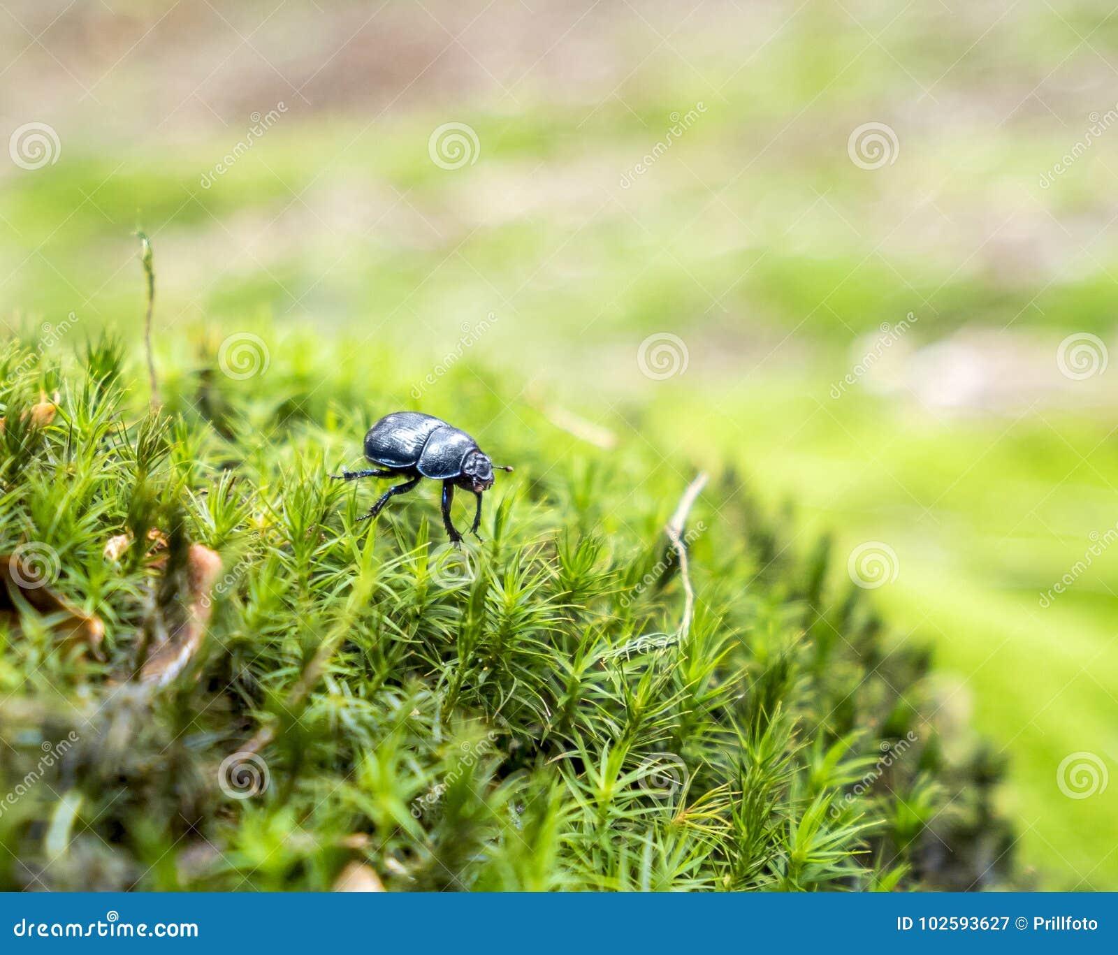 Besouro de estrume da floresta
