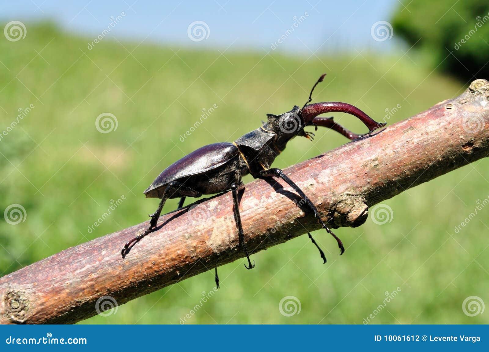 Besouro de veado