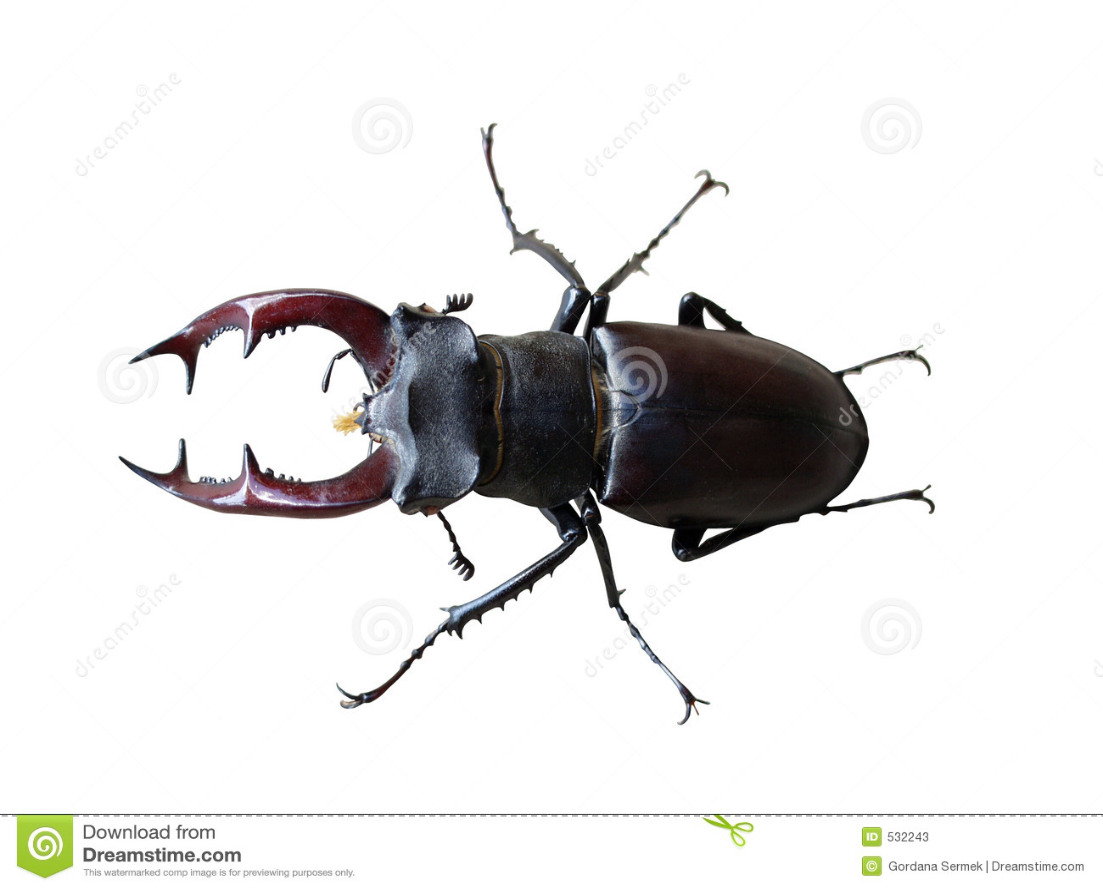 Besouro de veado no branco