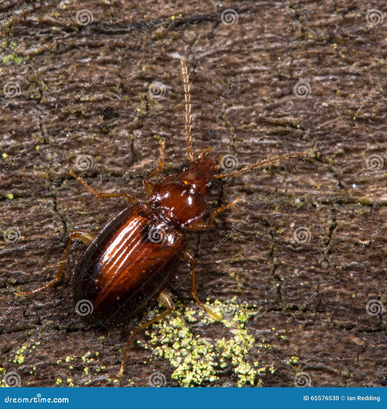 Besouro dos harpaloides de Ocys