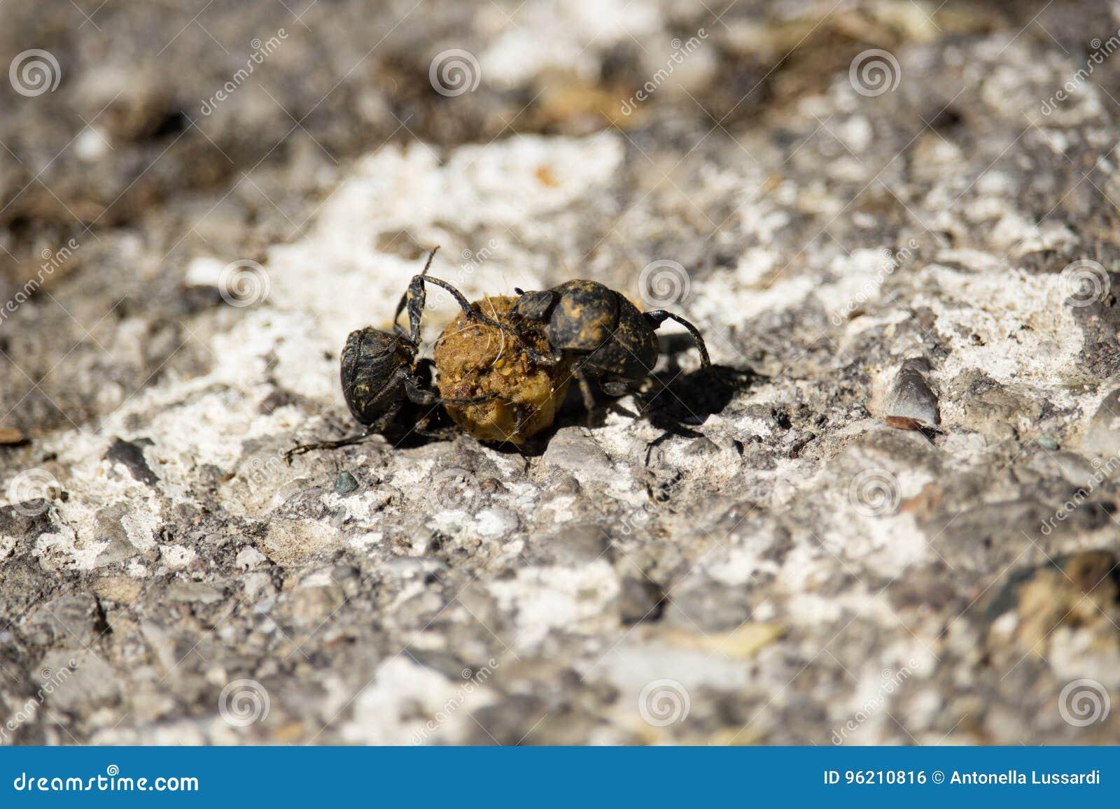 Besouros de estrume