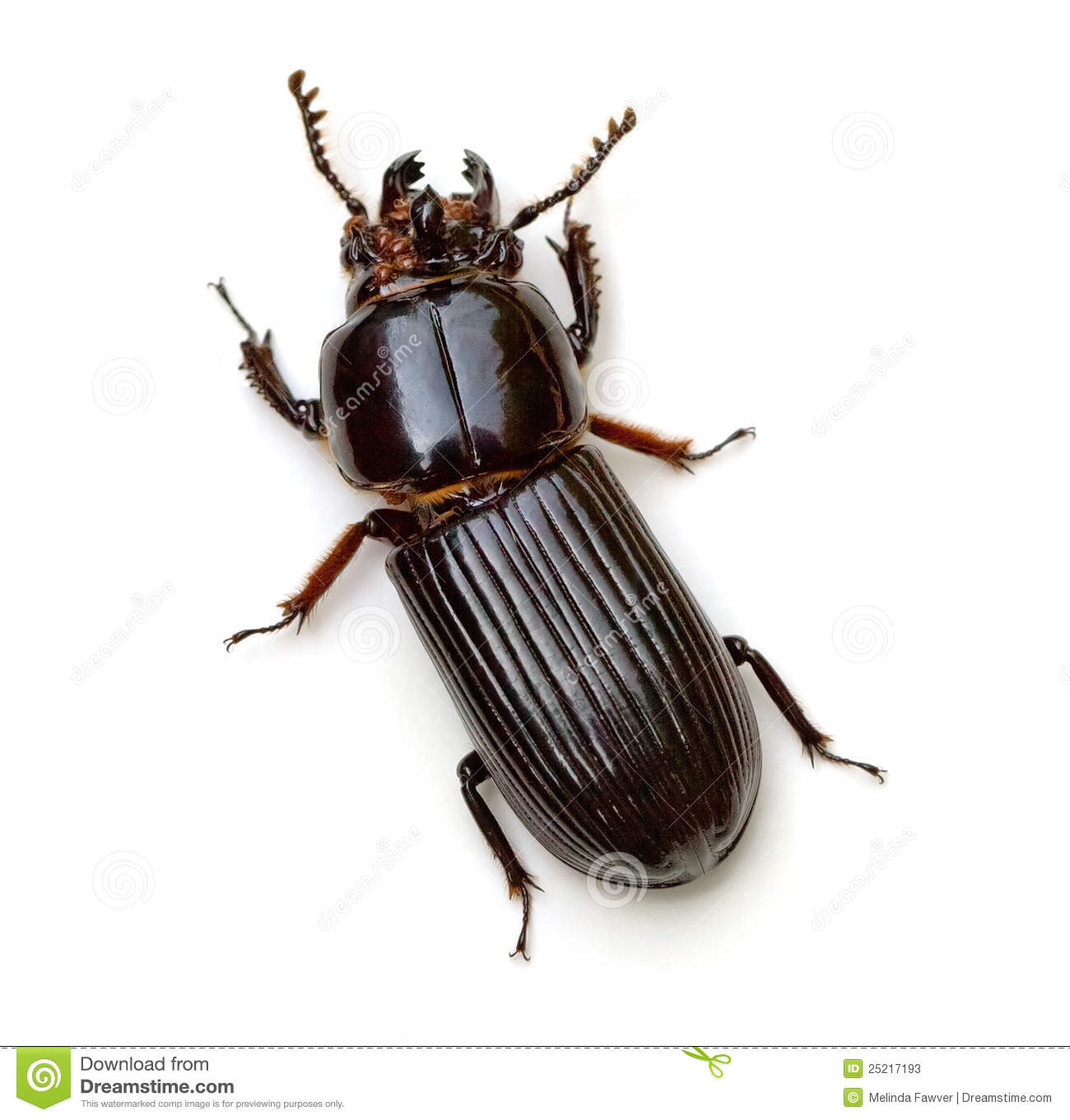 Bess Beetle Stock Photos - Image: 25217193