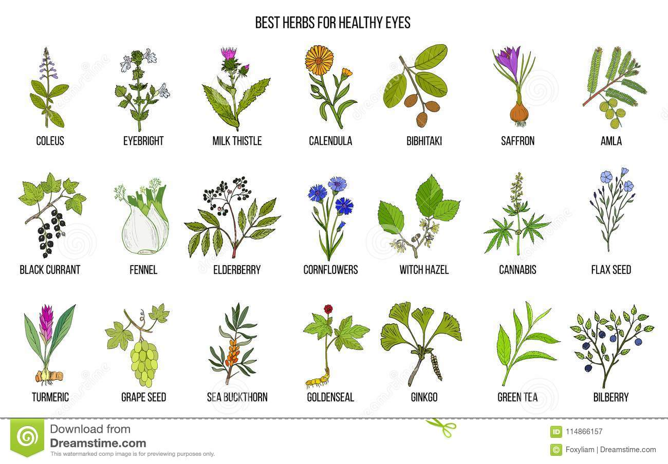 Best Medicinal Herbs For Healthy Eyes Stock Vector - Illustration of
