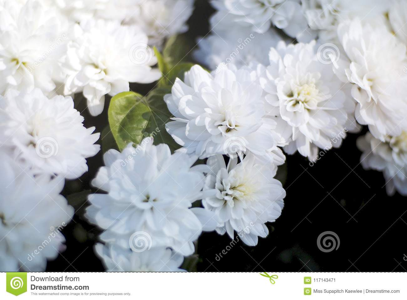 A White Tropical Flower In The Morning Stock Image Image Of