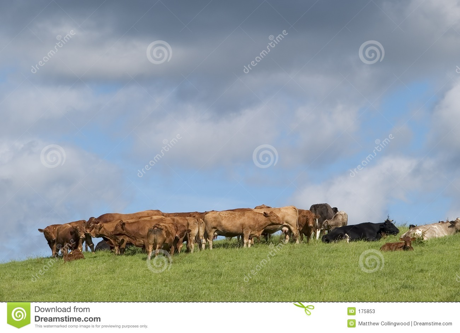 Bestiame