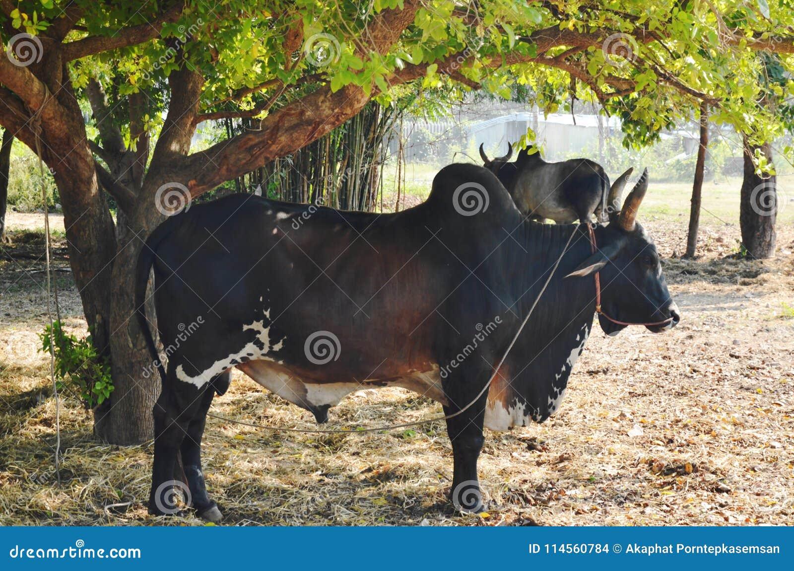 Bestiame maschio nero del bramano che sta sotto l albero in azienda agricola