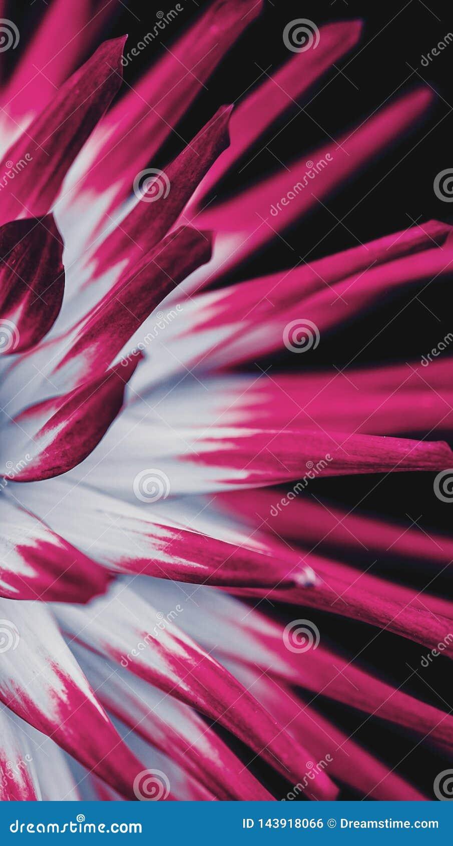 Betäubungs-Blume mit den weißen und rosa Blumenblättern