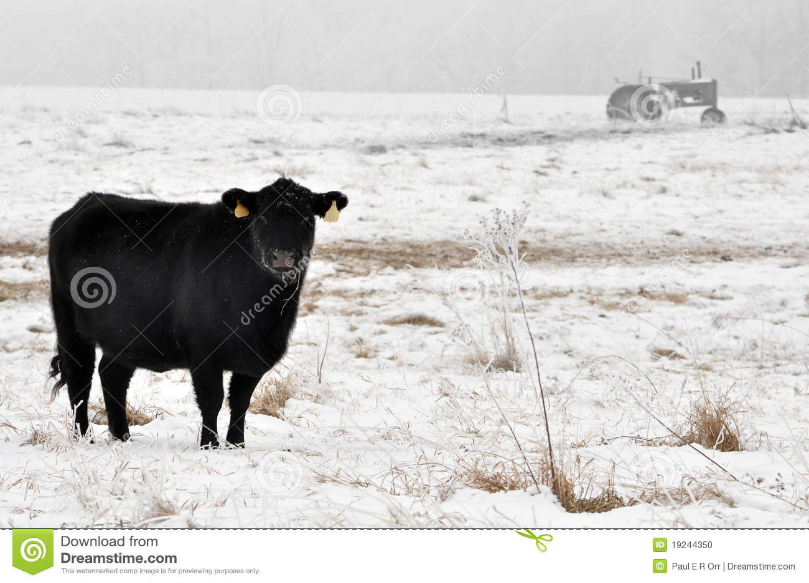 Beta för angus ko