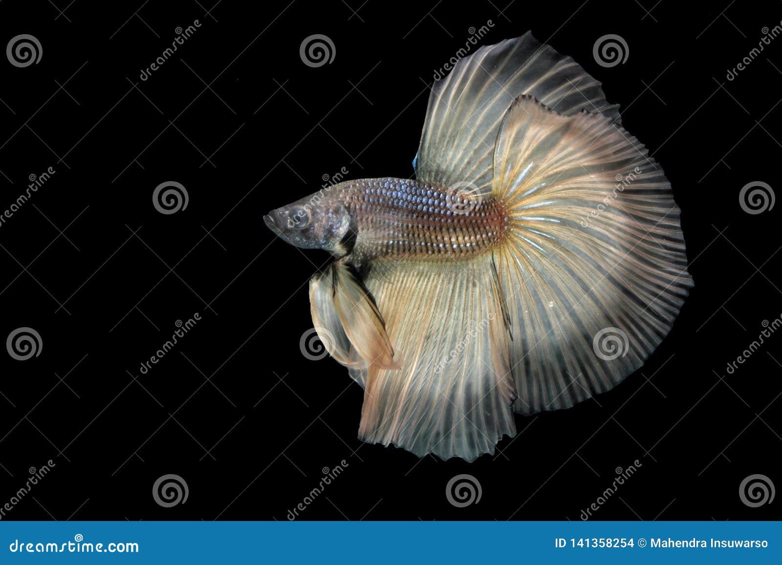 Beta Fish Fighting