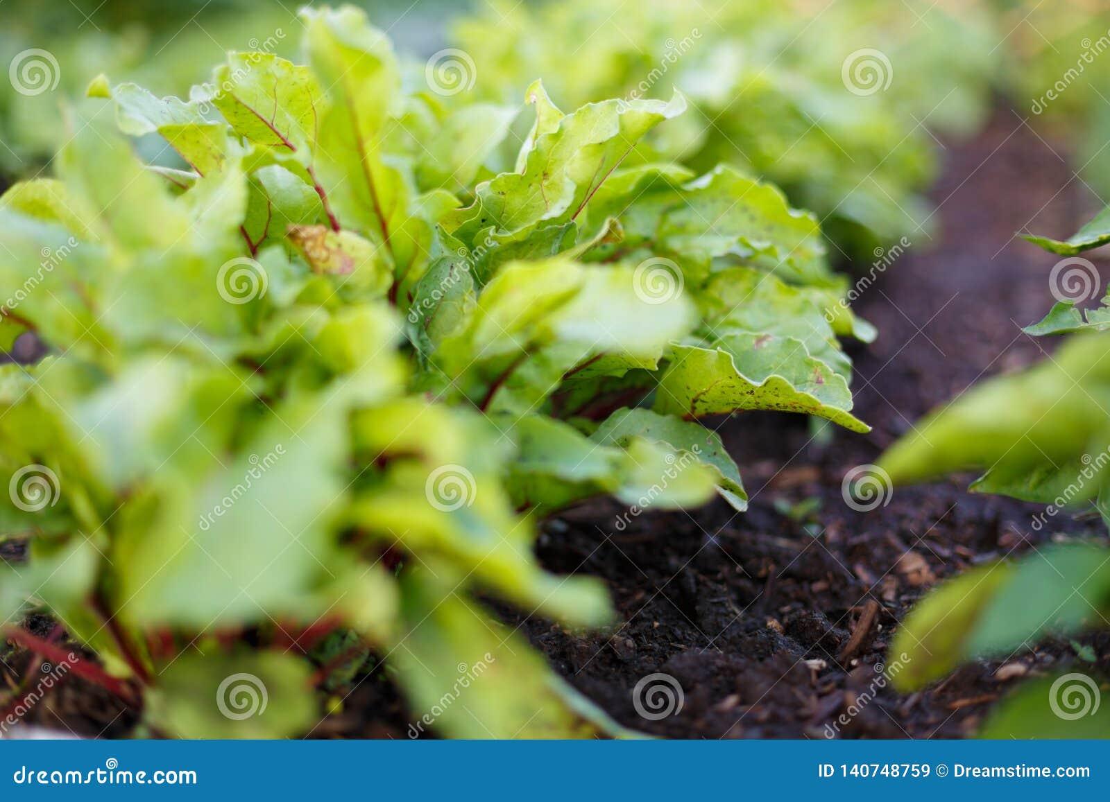Betagräsplaner växer på grönsaksäng i grönsakträdgården