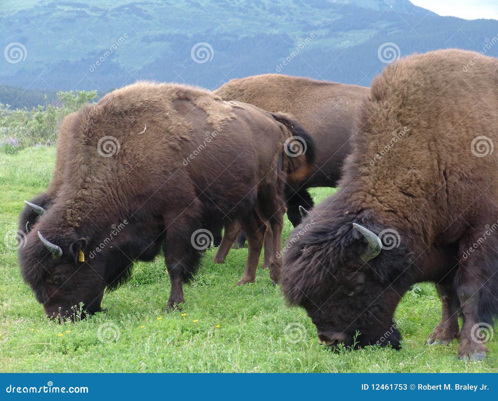 Betande flock för buffel