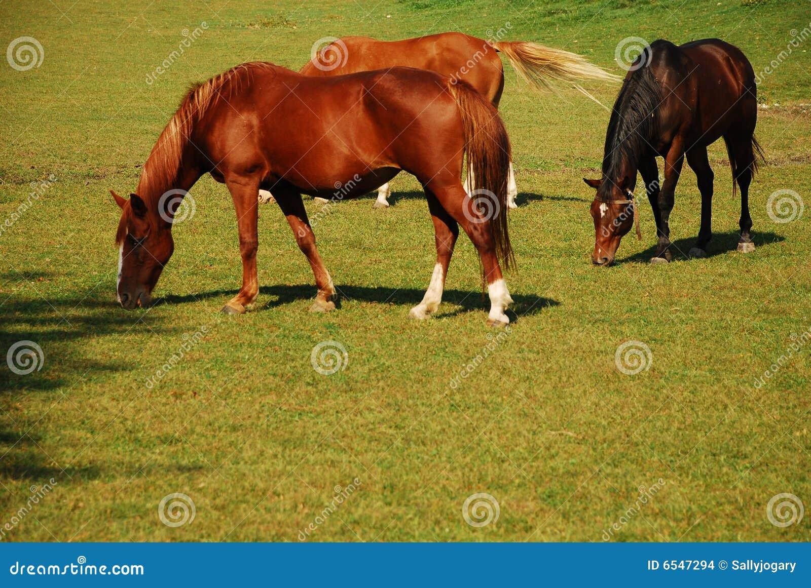 Betande hästar
