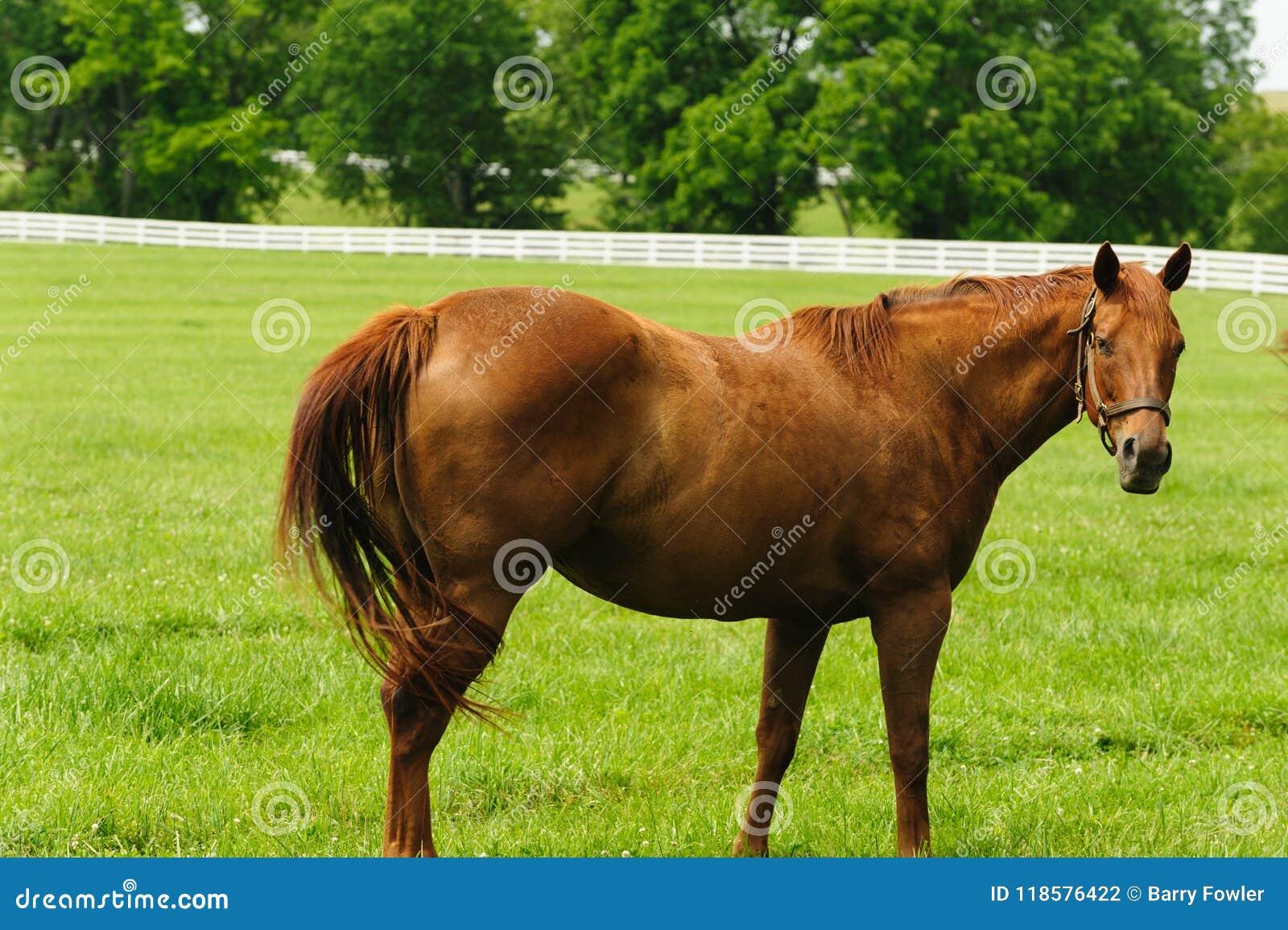 Betande hästar för lantgård