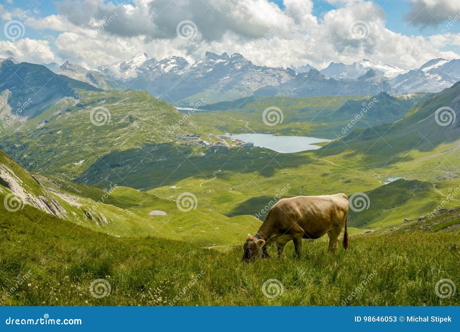 Betande ko i schweiziska fjällängar