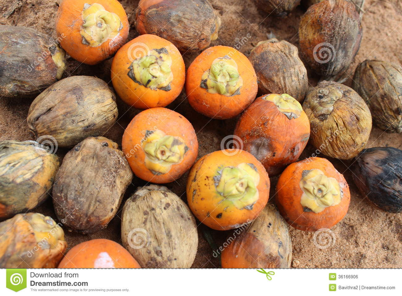 Download Betel Nut or Areca Nut stock photo. Image of digestive - 36166906