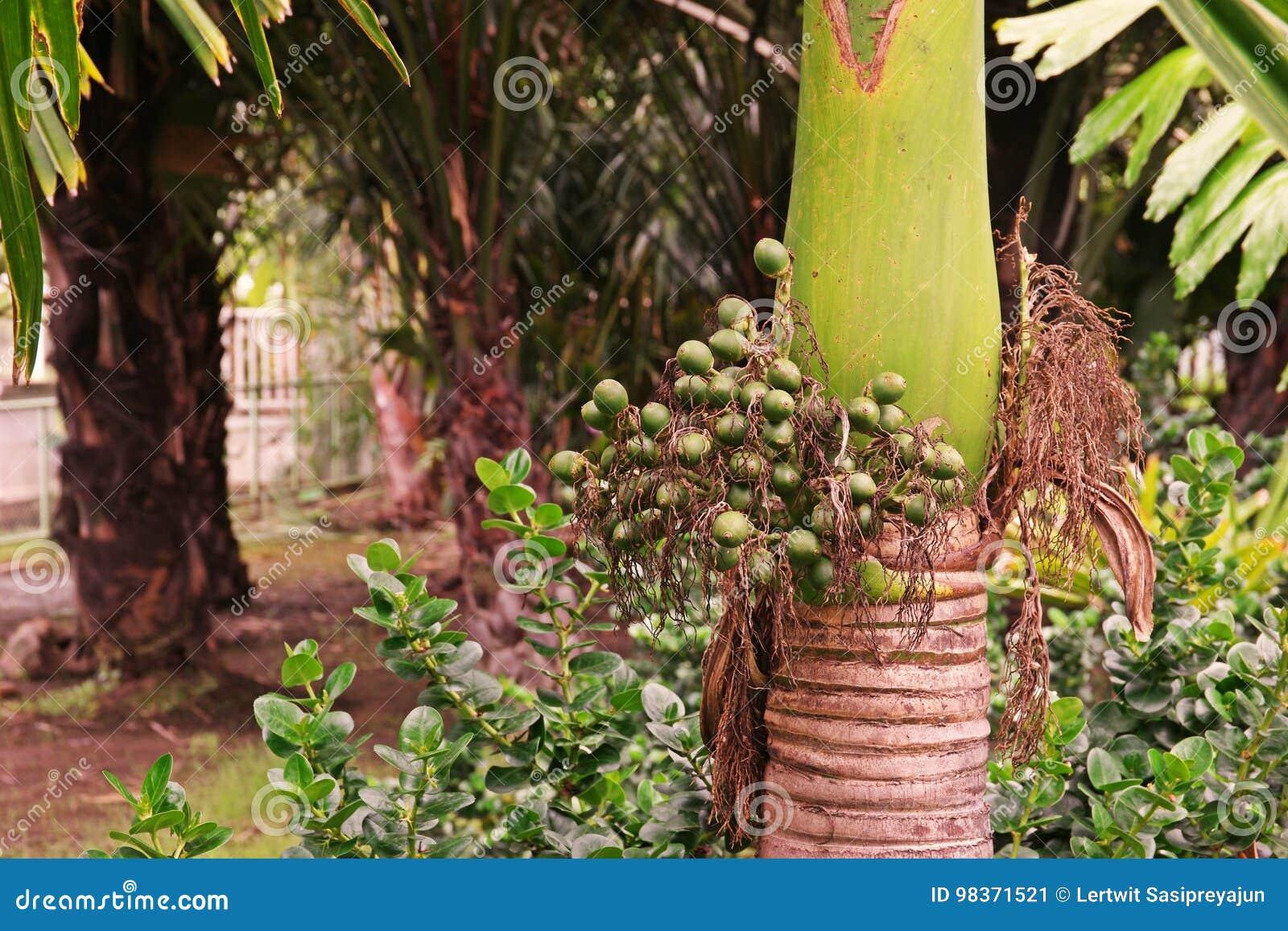 Betel nut, dwarf variety stock image. Image of betel - 98371521