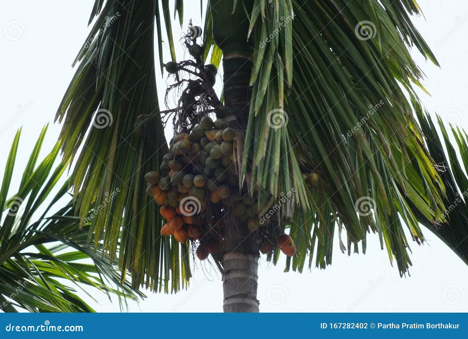 nöt som palm