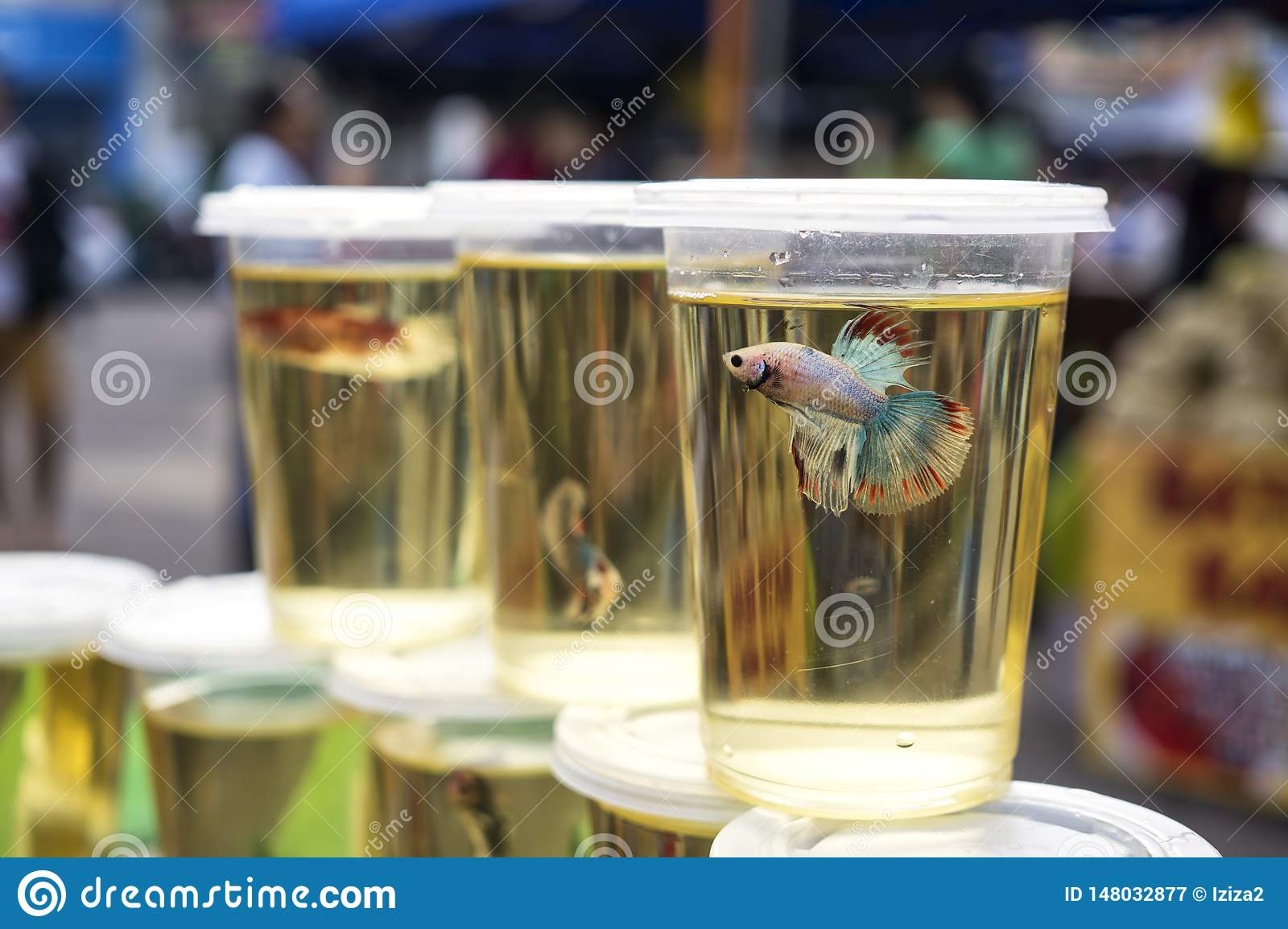Betta fighting fish on display