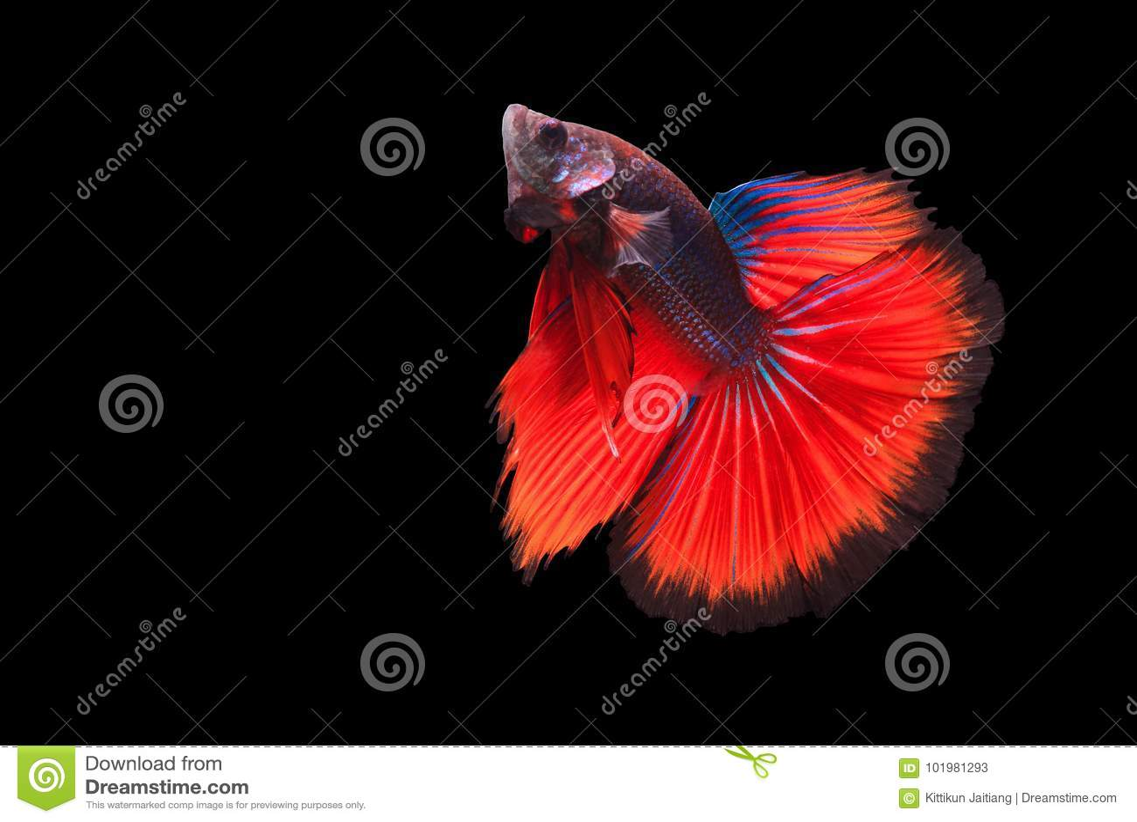 Betta Fische