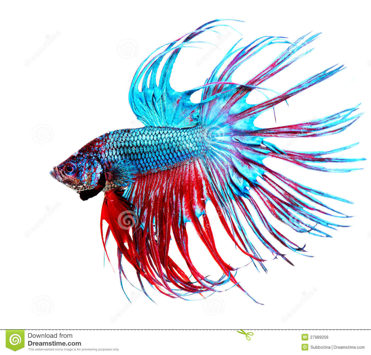 Betta fish for Best time to fish today
