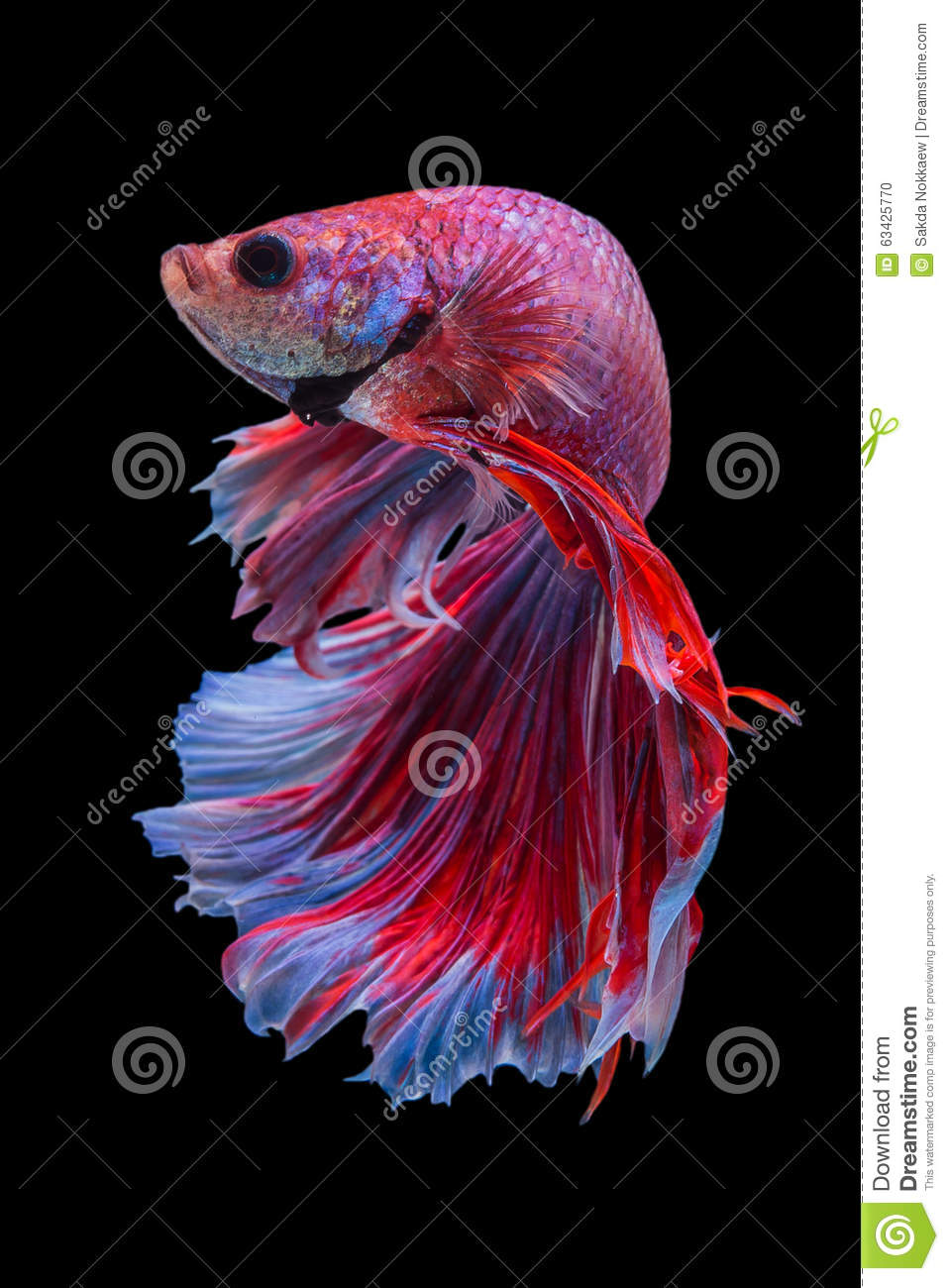 Betta stock photo. Image of color, background, nature - 63425770