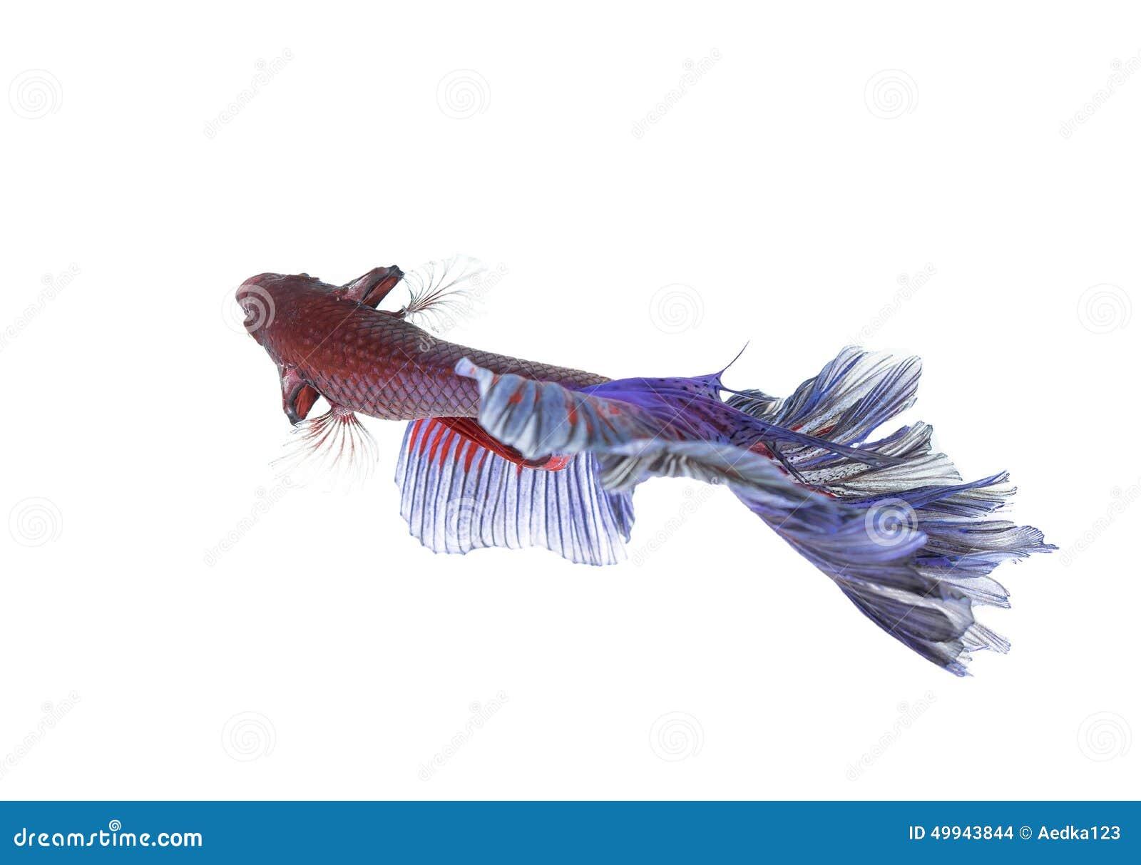 betta fish closeup colorful dragon fish stock photo image of