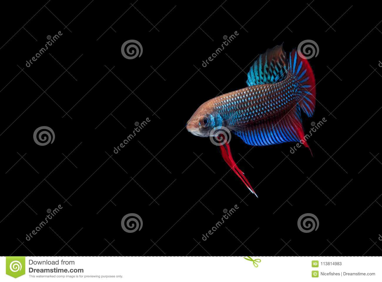 Betta Fish Fight In The Aquarium Stock Image Image Of Background