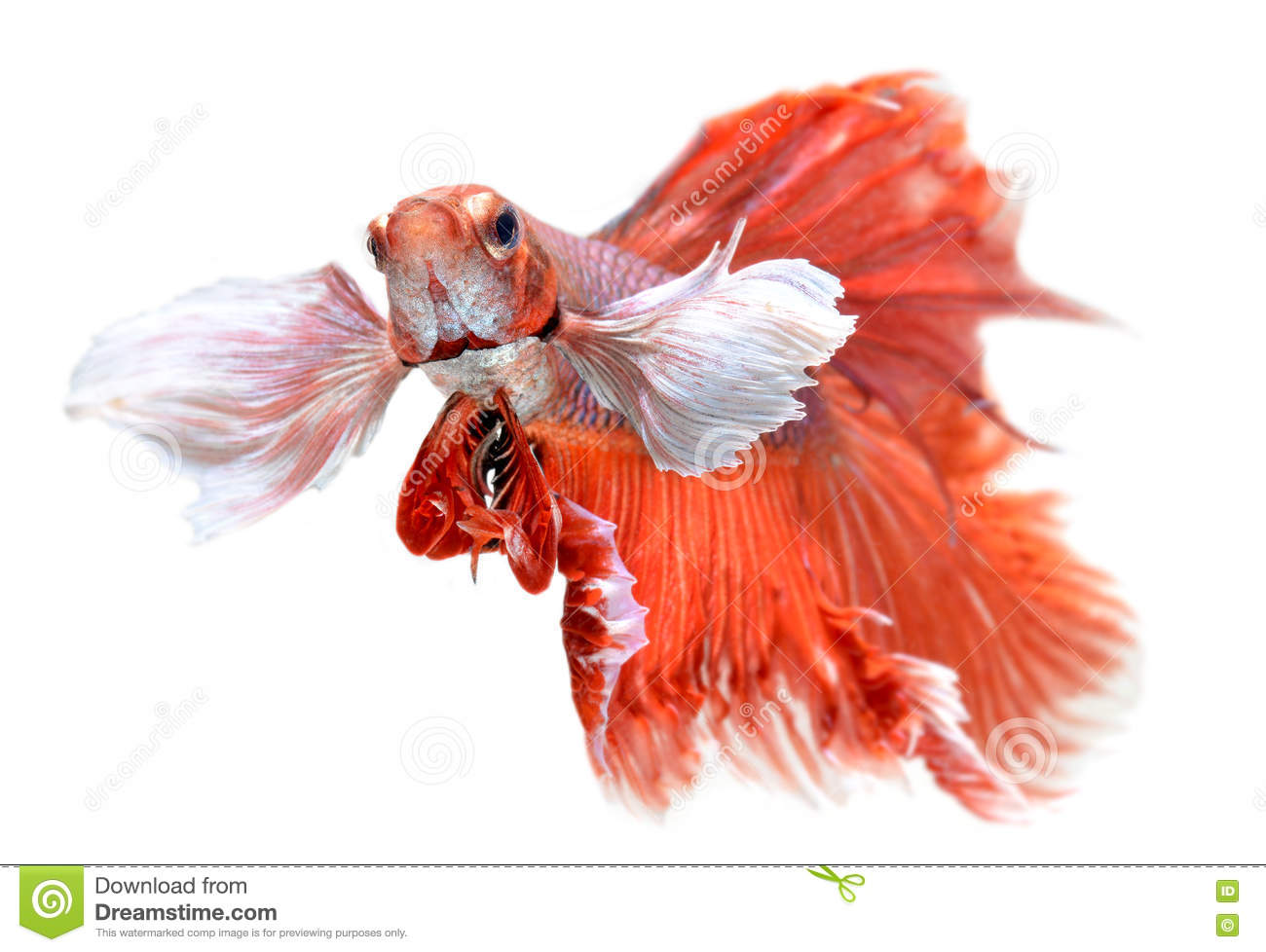 Betta Fish In Freedom Action Stock Image - Image of color, butterfly ...