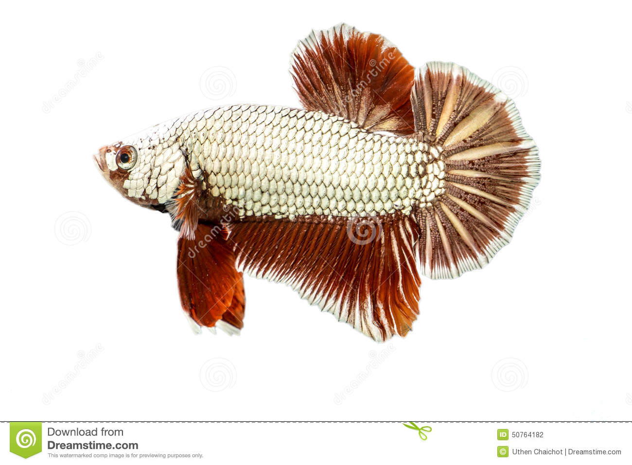 Betta Fish Isolated On White Stock Photo - Image of color, tropical ...