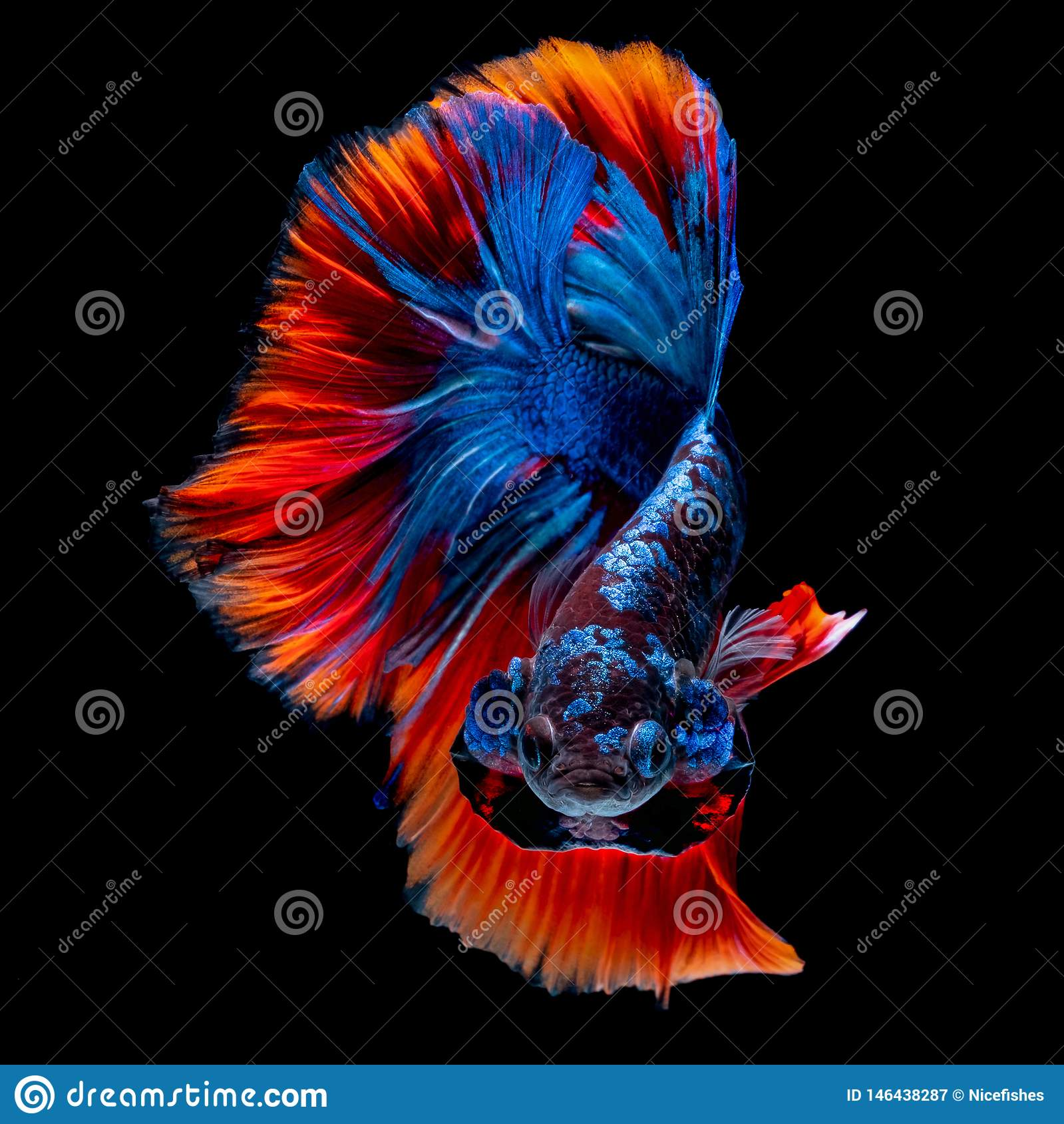 Betta fish koi fish kohaku Red White